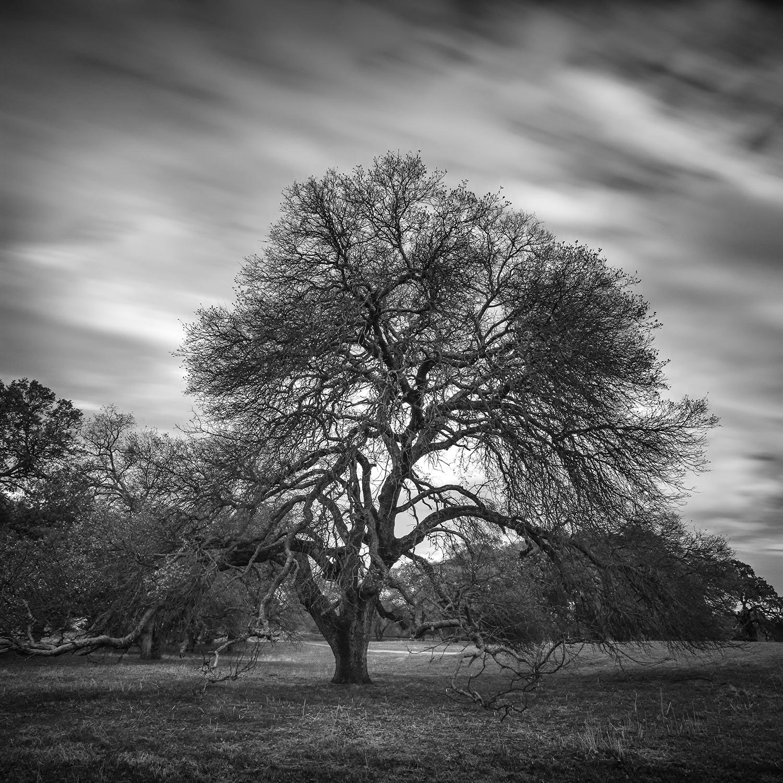 Westside Oak (Winter 2013)