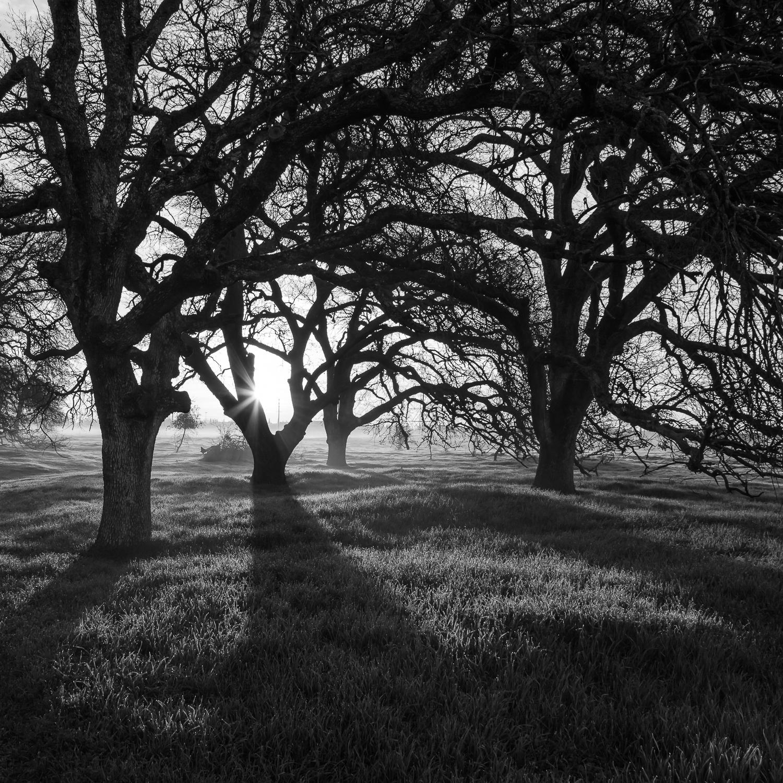 Winter Sunrise in Oak Woodland