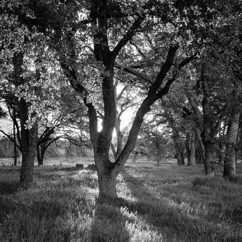 Morning Light Through Baby Oaks