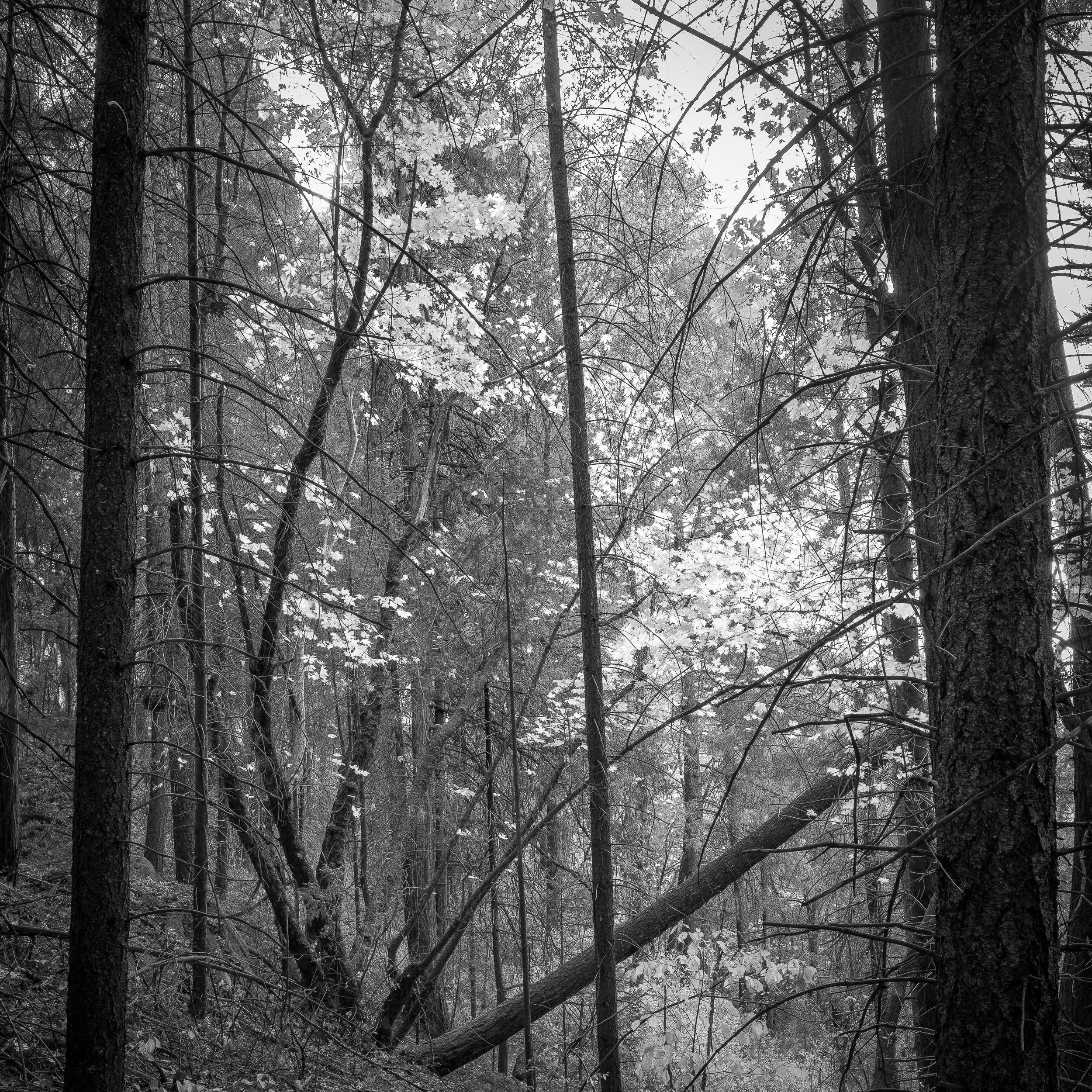 Big Leaf Maple at Deer Creek