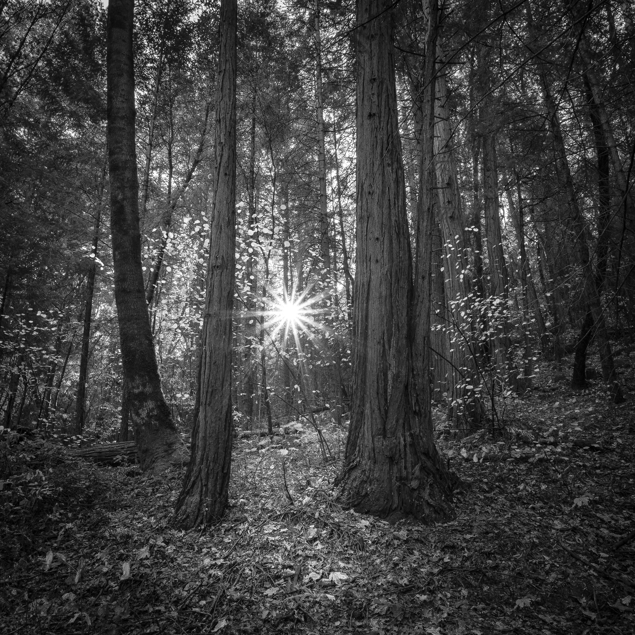 Nisenan Forest Sunrise