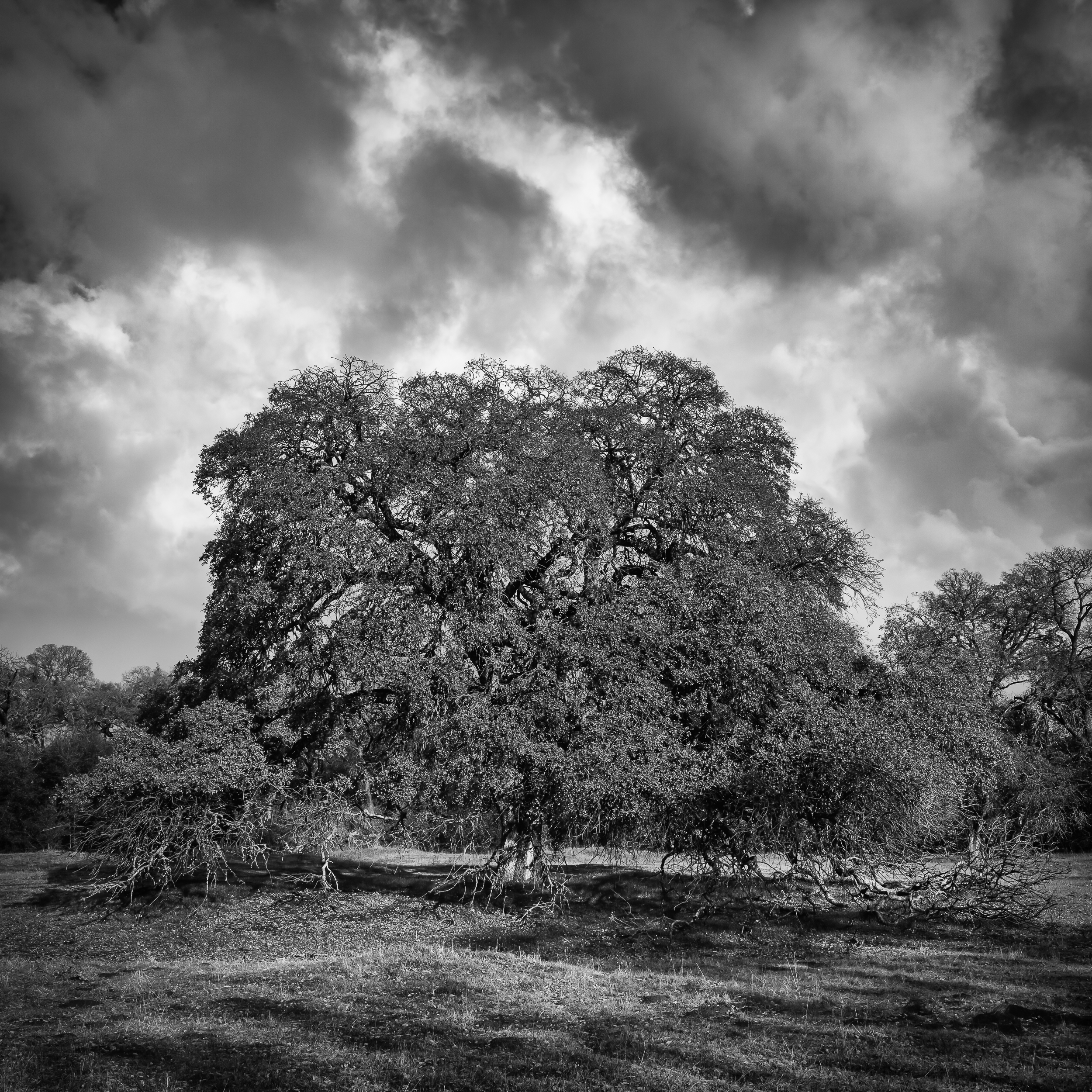 Oak Tree with Storm Clouds