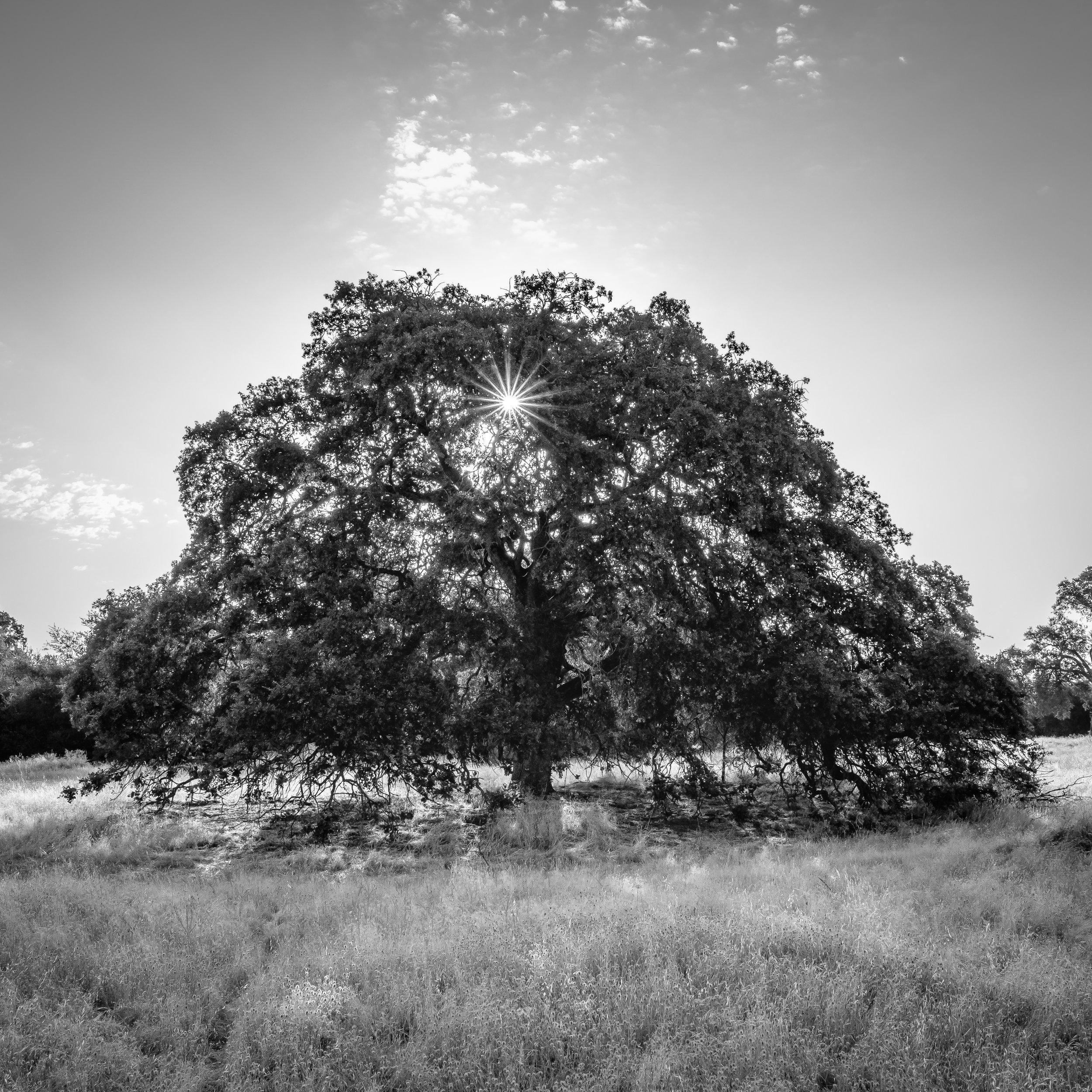 Summer Oak II