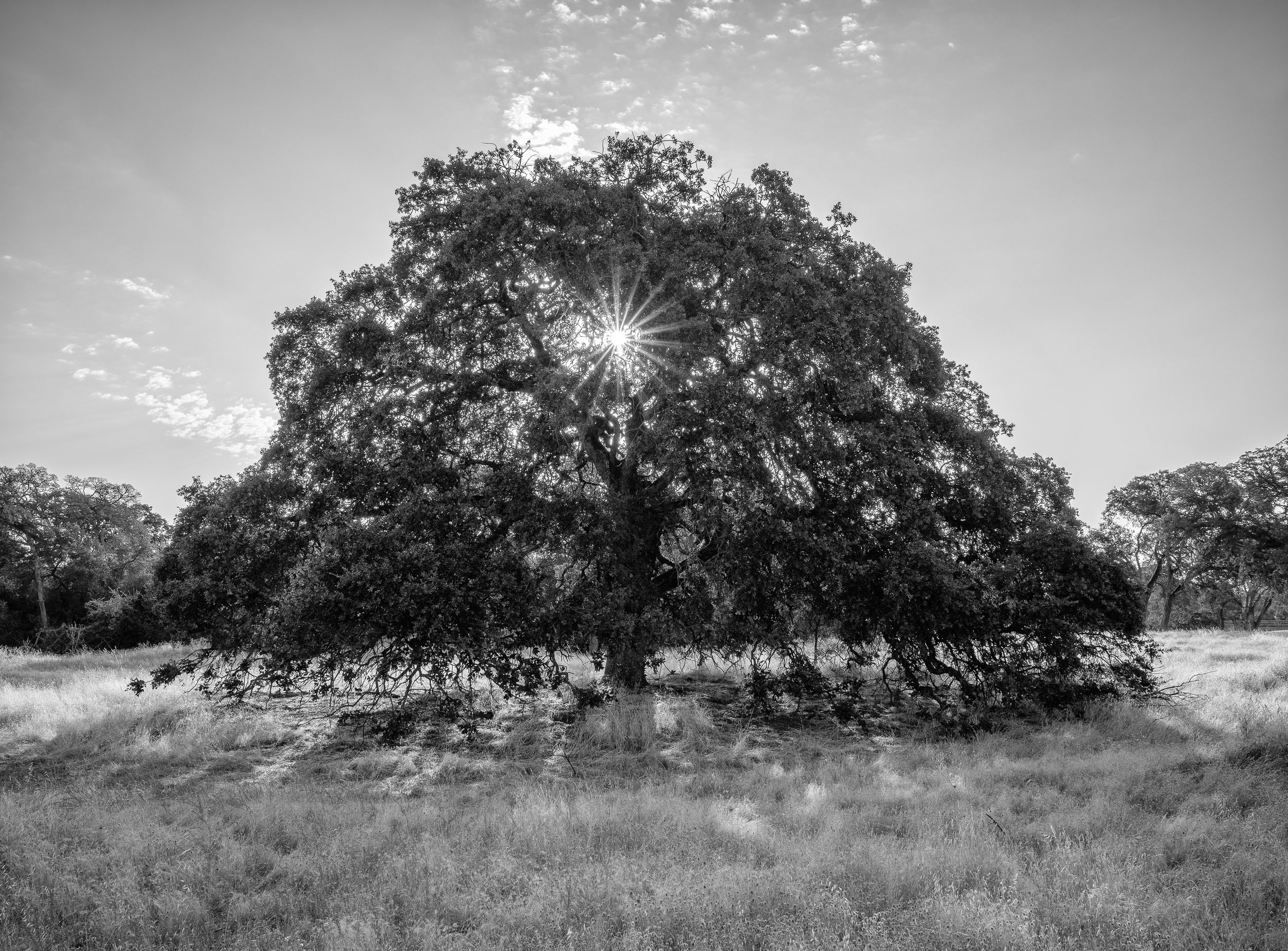 Summer_Oak_II-2.jpg