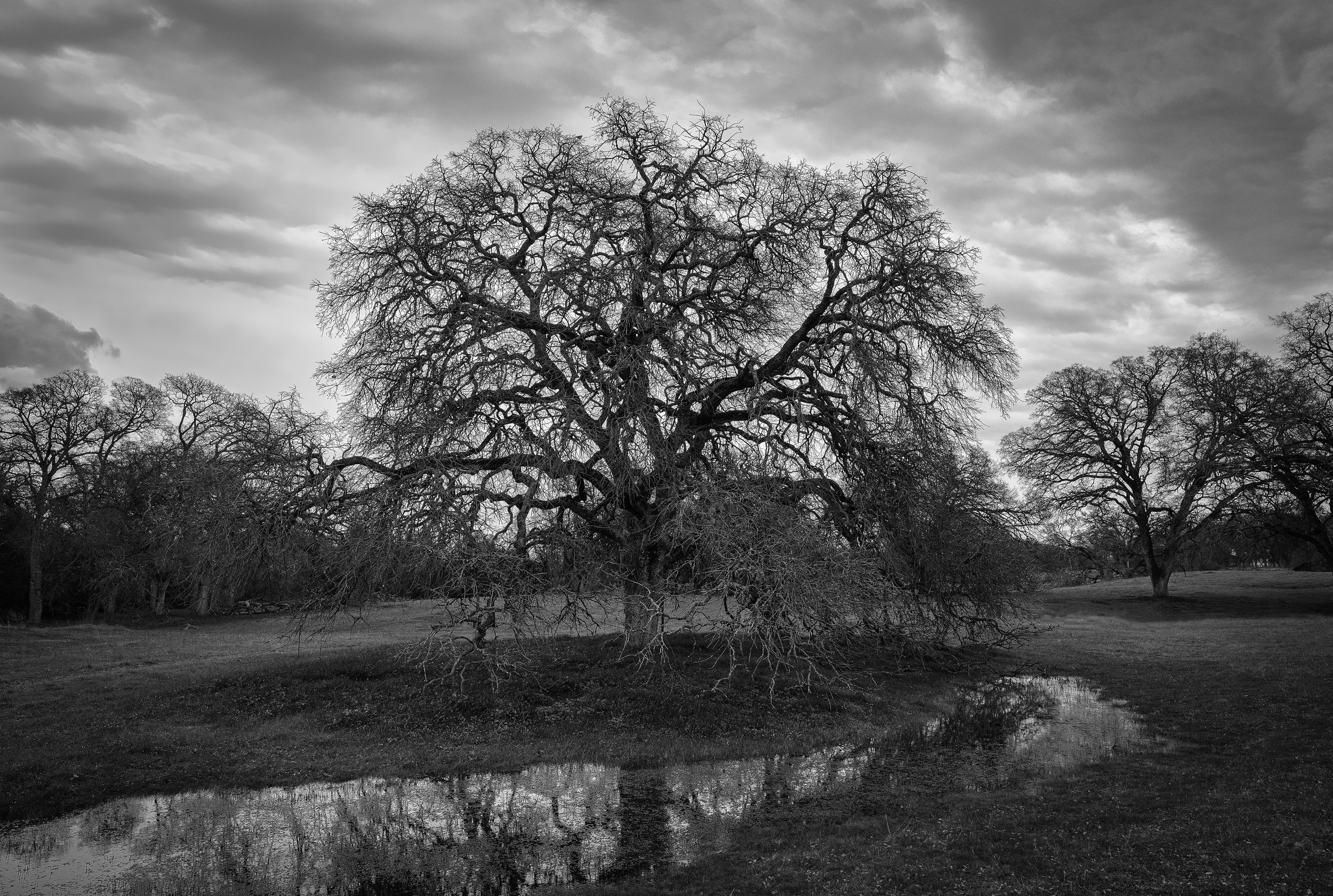 The Old Oak at Branch Creek