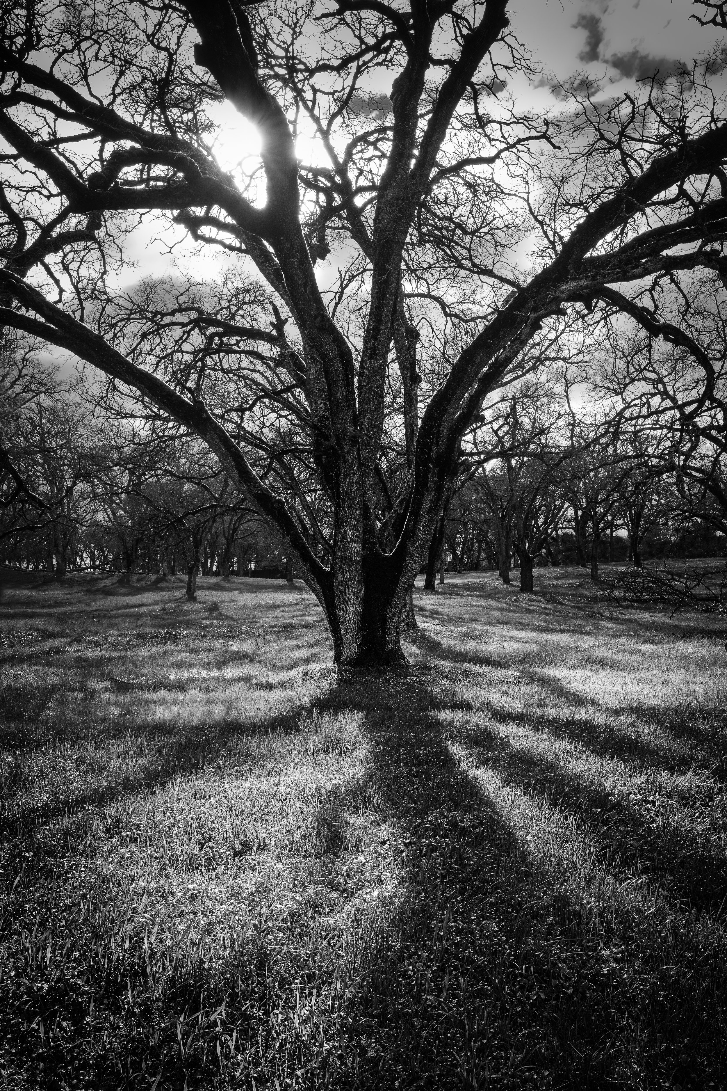 Oak and Shadow