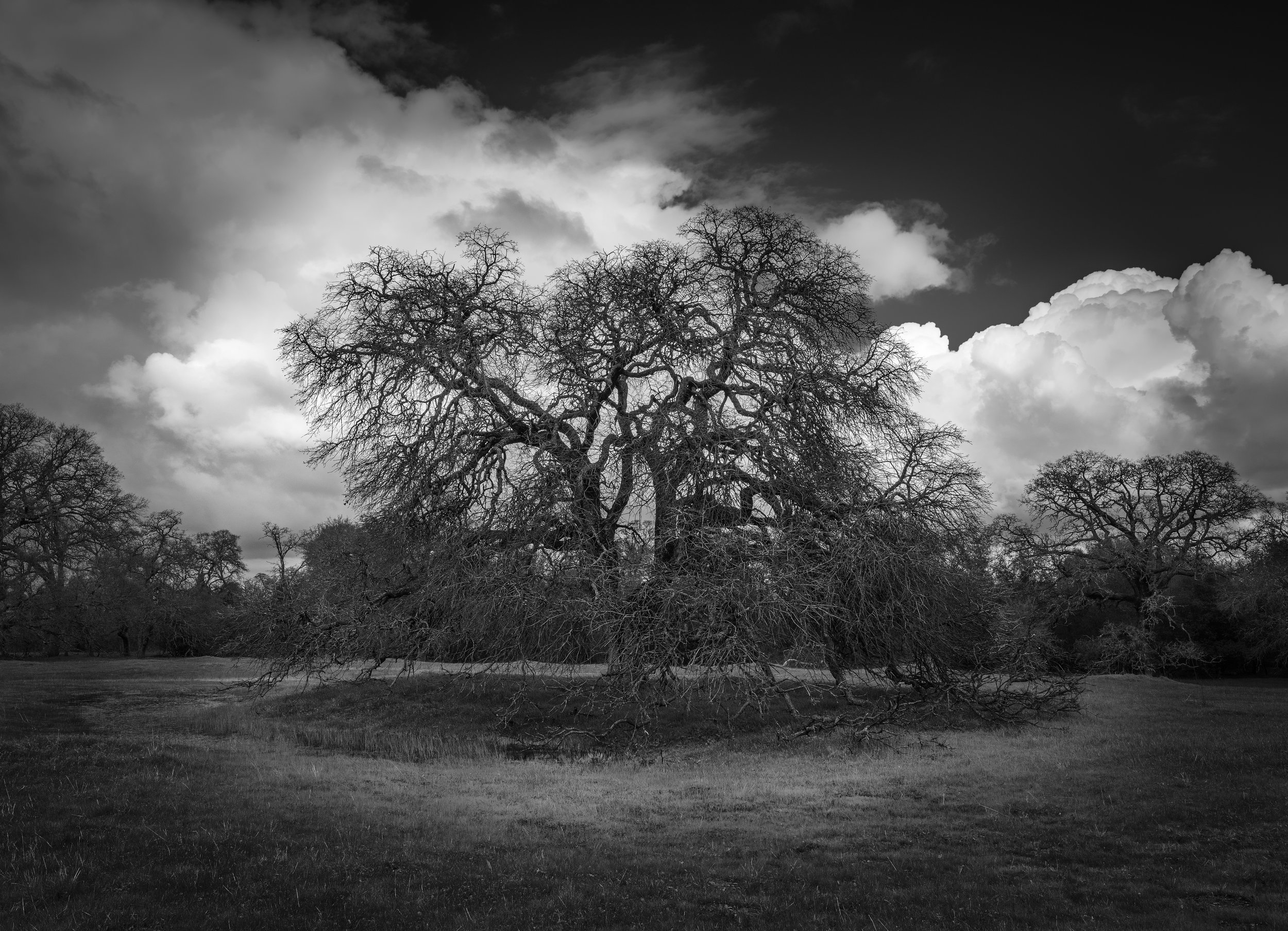 The Old Oak at Branch Creek, Study 3
