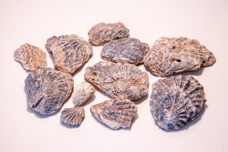 seashell fossils, from Sidi Bouhlel / Shubiel Gorge, near Tozeur, Tunisia