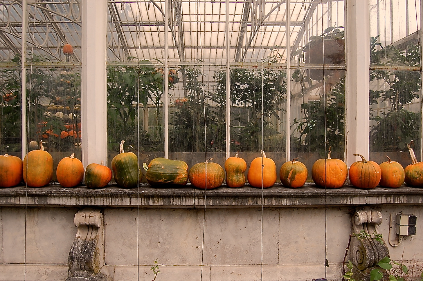 Pumpkins in a row - no Thanksgiving here :(