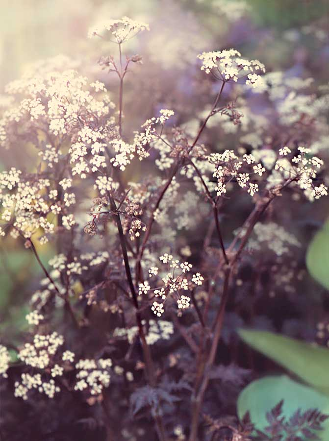 Black-leaf-cow-parsley-Ravenswing - Anthriscus Sylvestris.jpg