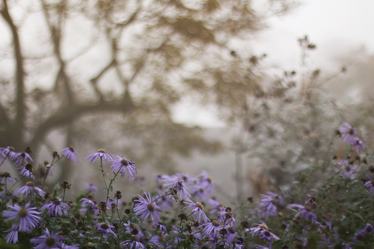 I learned to love asters while living in England. It was my first visit to Great Dixter and Sissinghurst that did it for me. They are a wonderful fall flower, and every garden should have at least a hint of these positive perennials.
