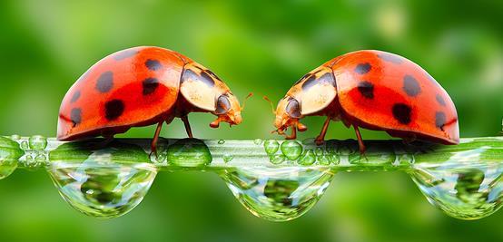 bigstock-The-ladybugs-family-running-on-16881215.jpg