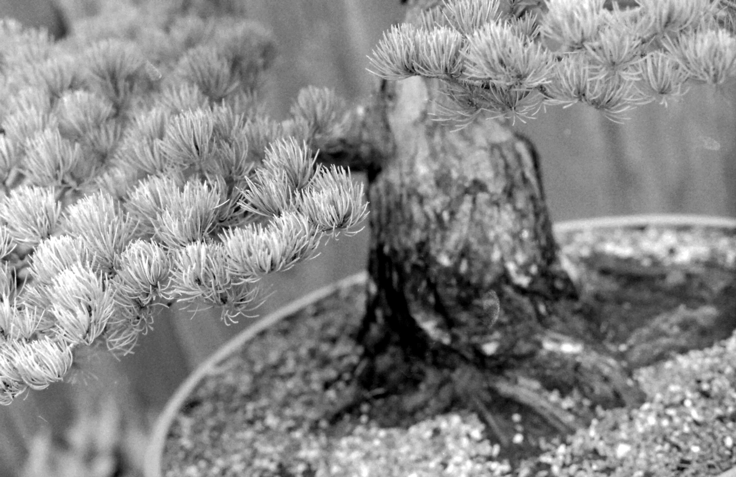 bonsai4.jpg