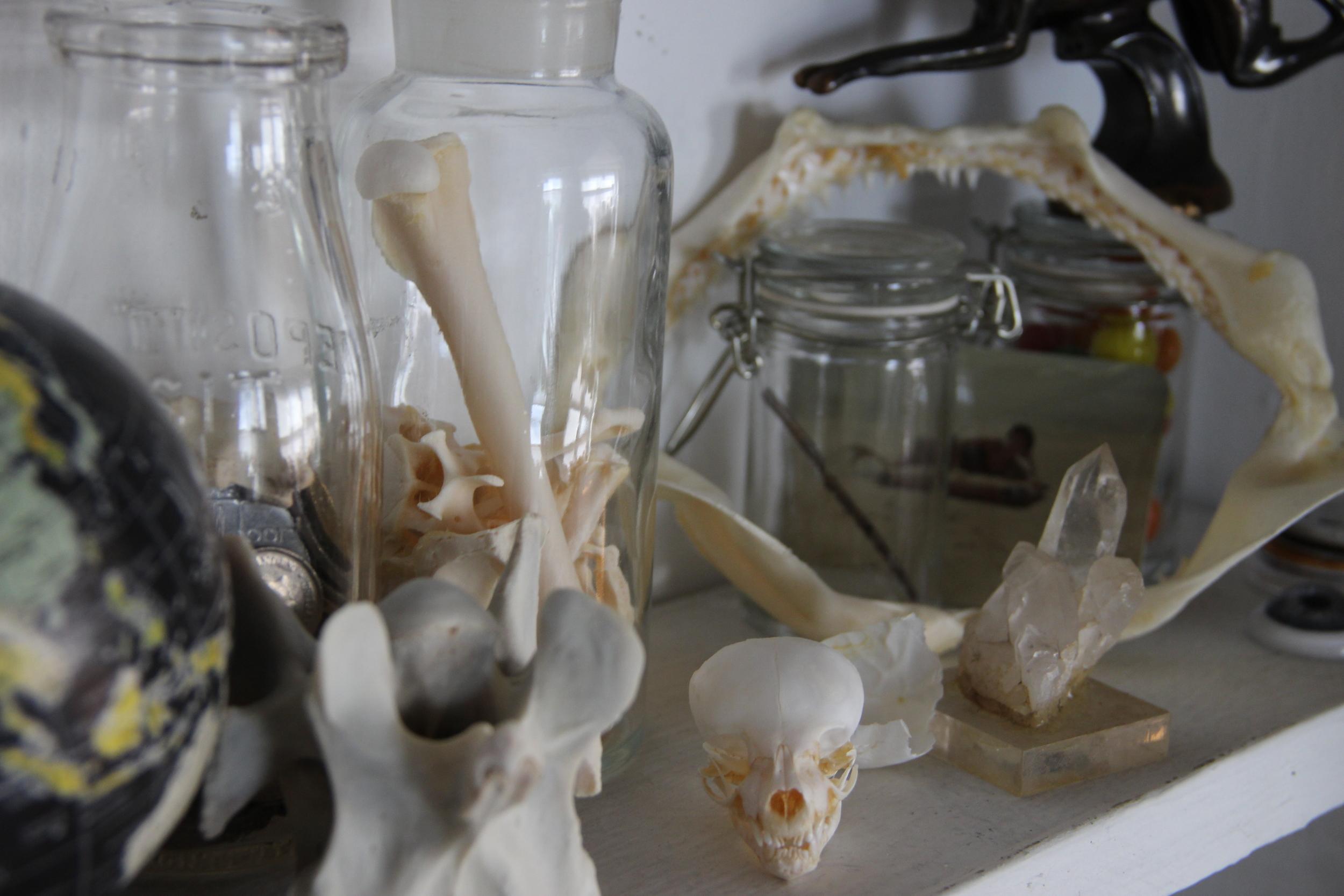 Kinkajou skull, whitetail vertebrae, shark jaws (from an antique store) and a jar of kangaroo bones.