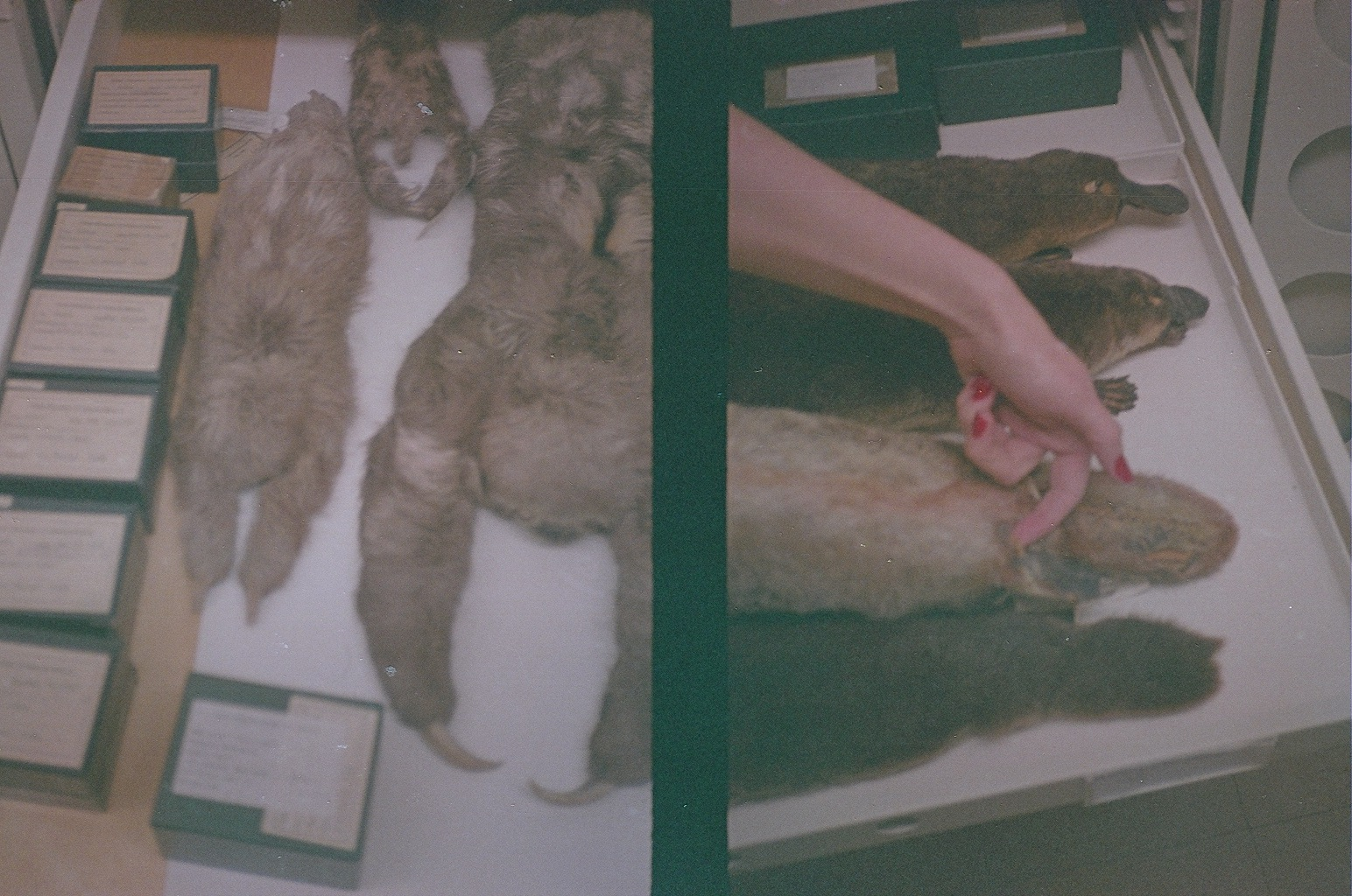 Left: two-toed sloth study skins. Right: platypus study skins.Taken at the Field Museum, October 2013. Canon Demi (half-frame) camera with expired film - excuse the dark exposure.