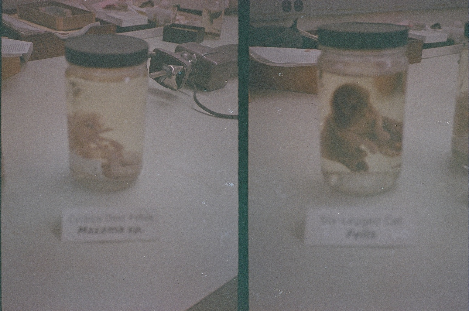 Left: cyclops deer fetus. Right: six-legged kitten.Taken at the Field Museum, October 2013. Canon Demi (half-frame) camera with expired film - excuse the dark exposure.