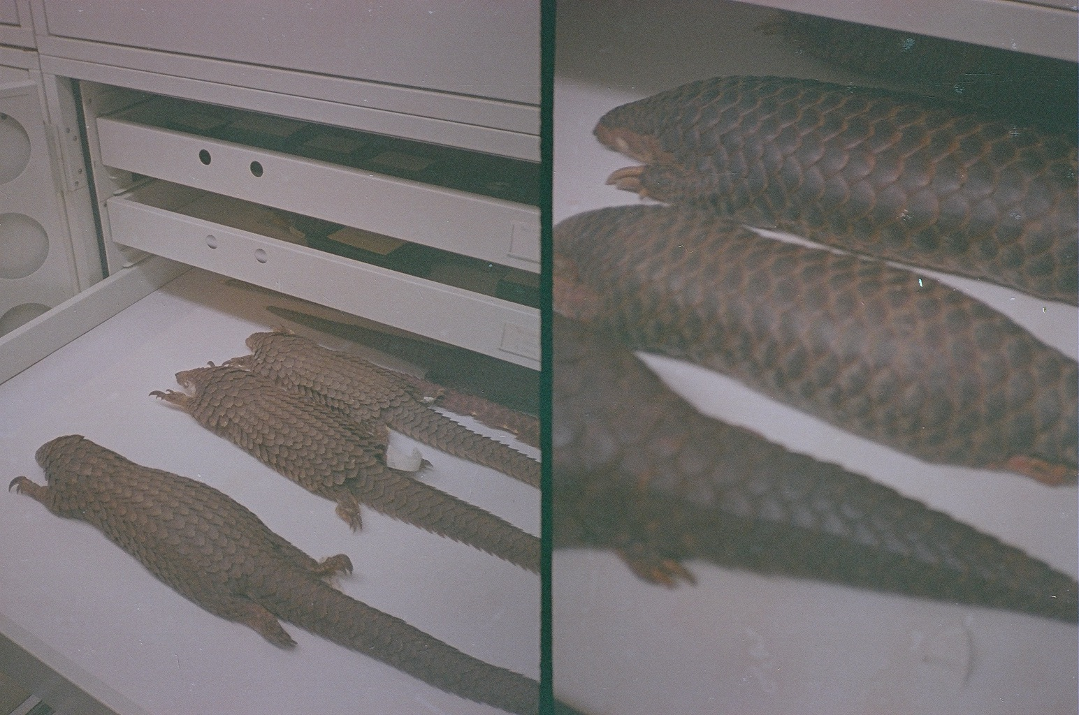 Left and right: pangolin study skins.Taken at the Field Museum, October 2013. Canon Demi (half-frame) camera with expired film - excuse the dark exposure.
