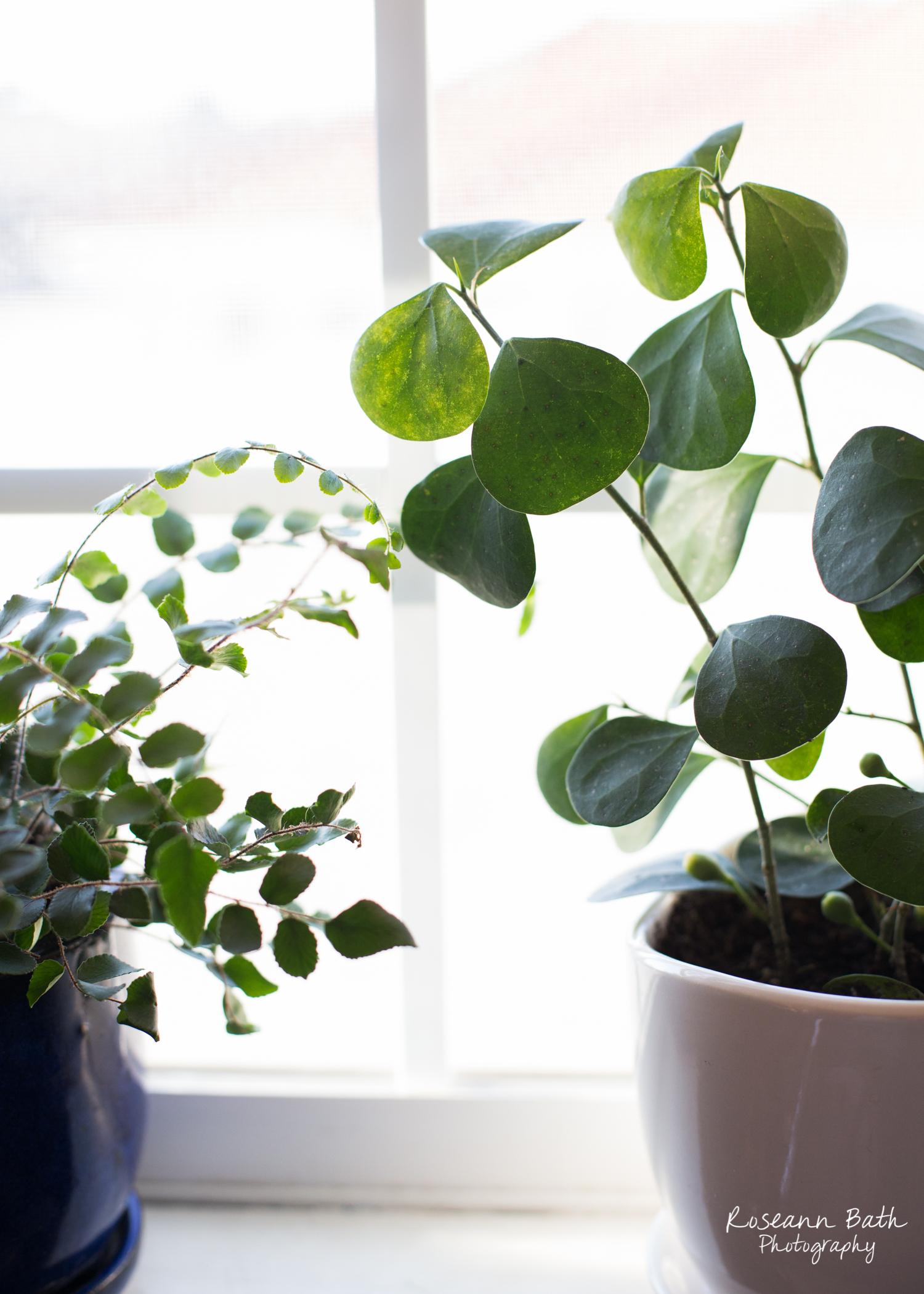 botton fern mistletoe fig