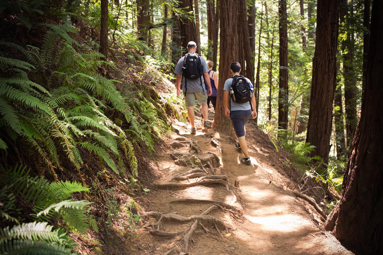 redwoods tree roots