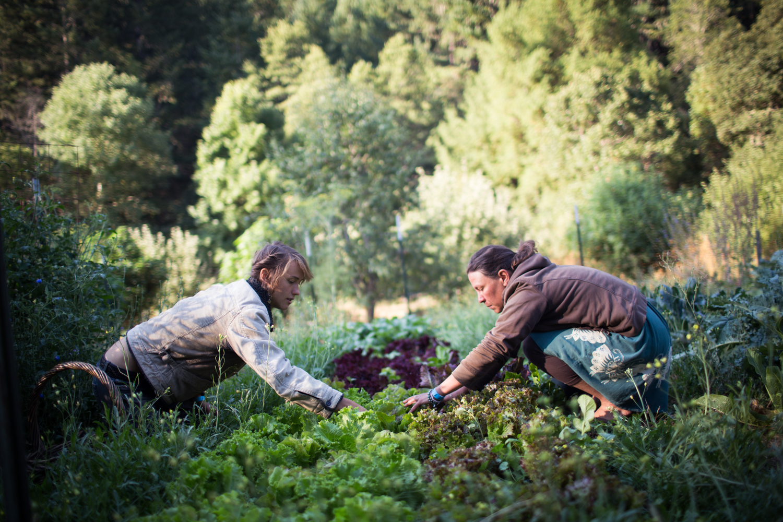 picking lettuces