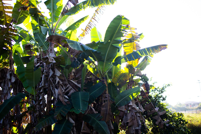 banana trees in morning light