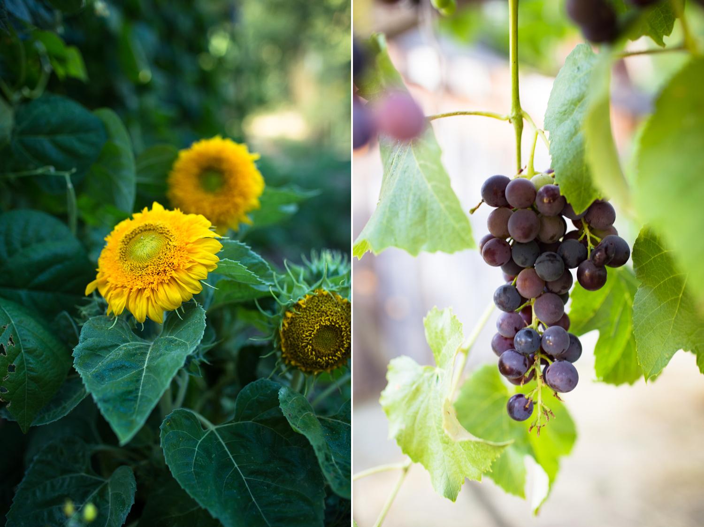 grapes and teddybear sunflowers