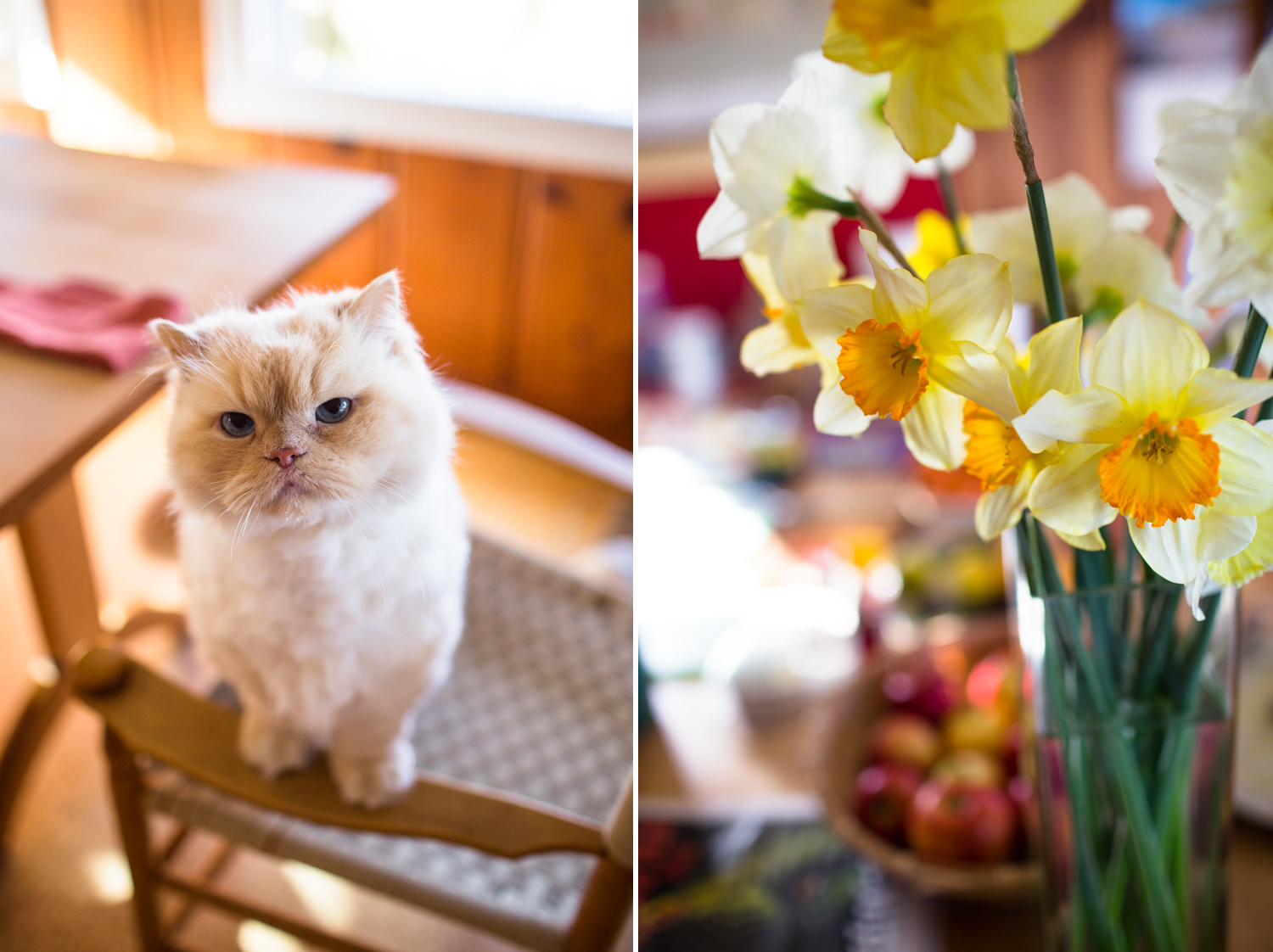 daffodils and persian cat nevada city lifestyle photography