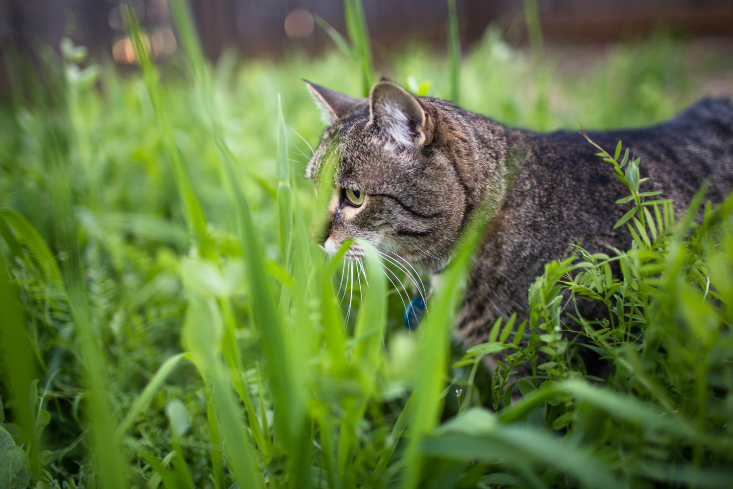 kitty in the cover crop