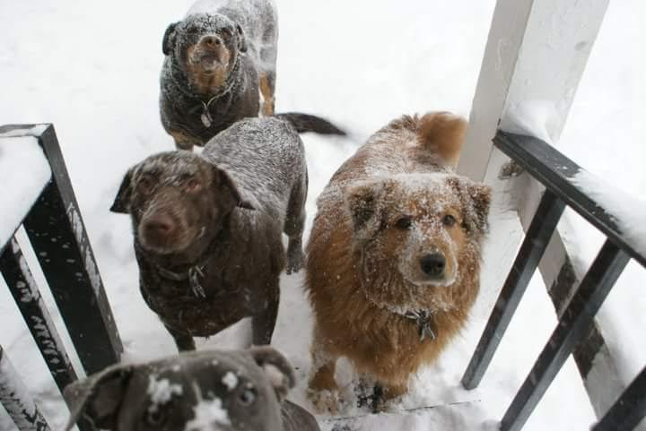 Dogs Maya, Egypt, Tor and Nova, who live in Chicago with C.A.R.E. Medical Director and dog trainer Angela Love, are ready to come inside after playing in the snow.