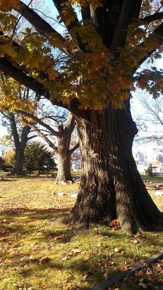 Big Maple Tree