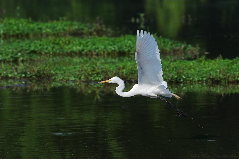 Great Egret flying over wetlands pond