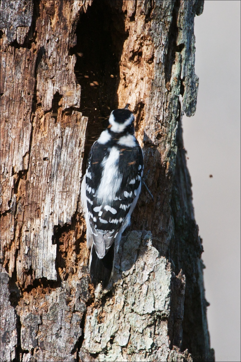 Debris flying behind Female Downy Woodpecker
