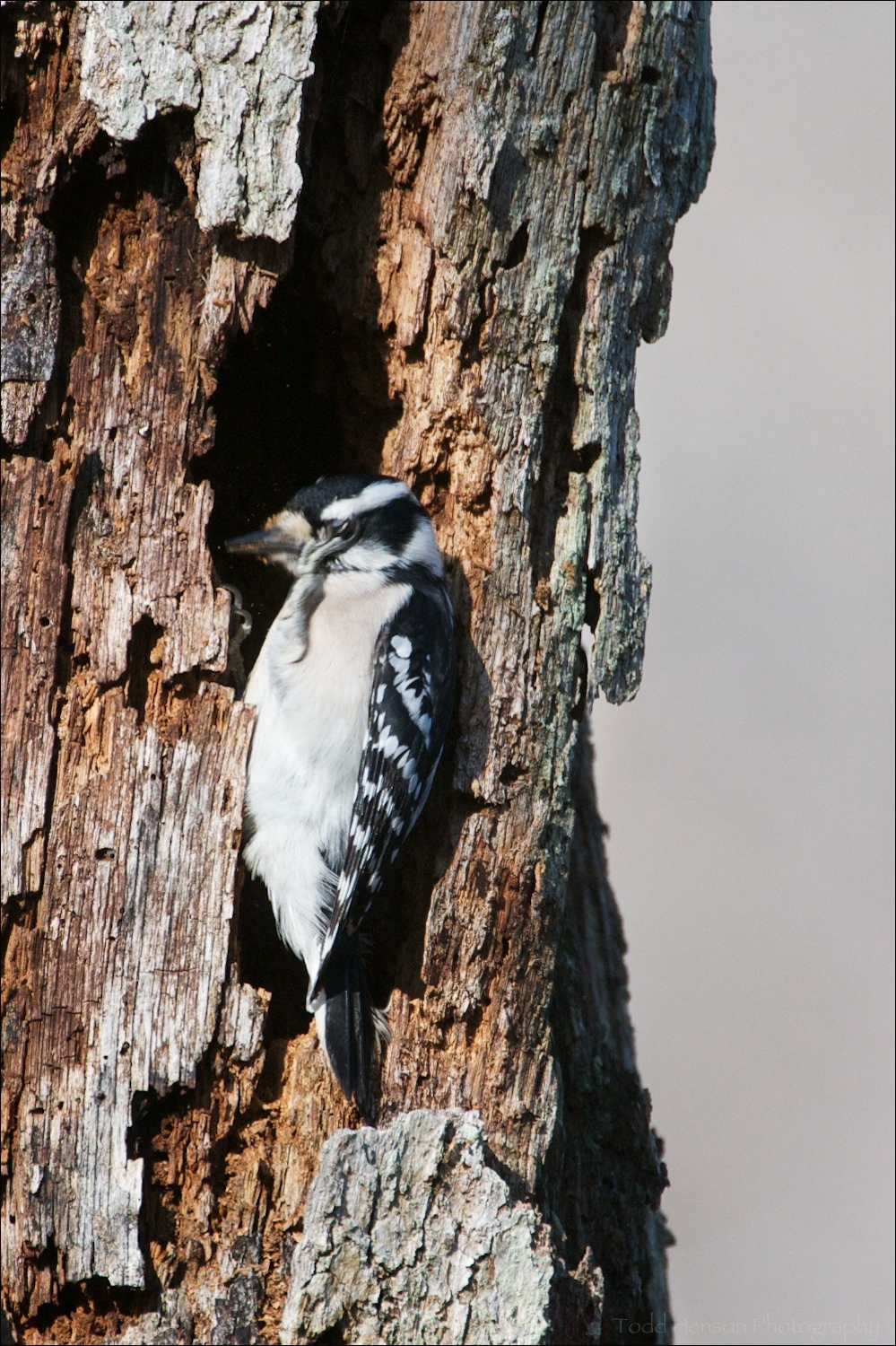 Female Downy Woodpecker scratching around her eye