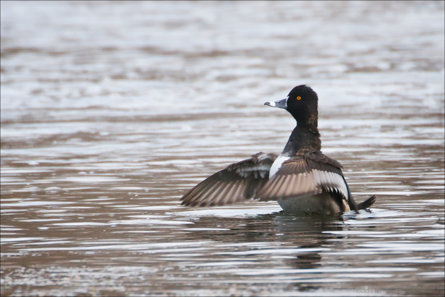 Male Ring-necked Duck flapping wings