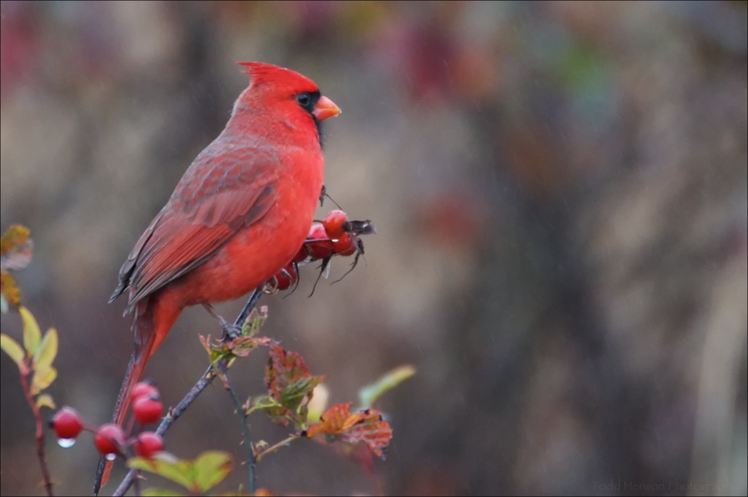 Male Northern Cardinal in drizzly rain