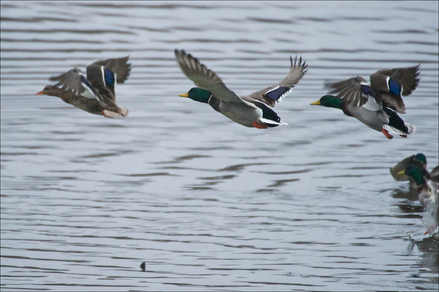 A group of Male Mallard taking flight after a female. The blue patch and black/white stripes on the wings are more easily visible when they are in flight.