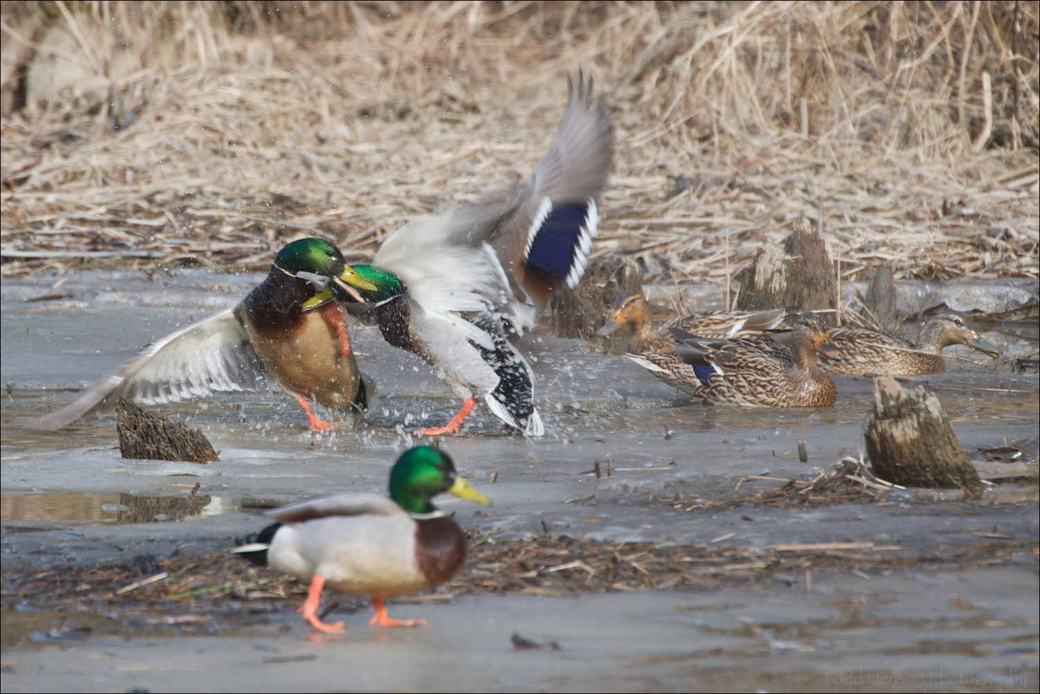 A couple of male Mallard fighting for dominance amongst other male and female