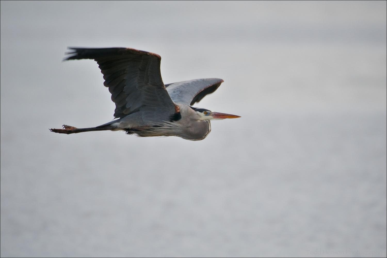 Great Blue Heron in flight over water