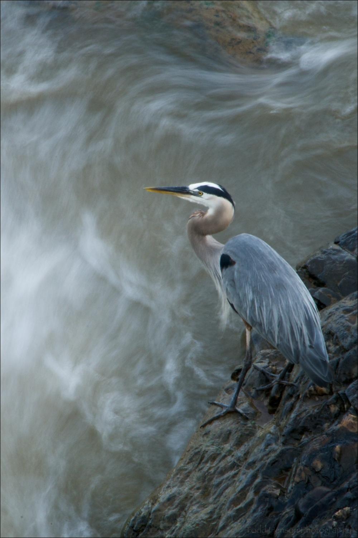 Great Blue Heron fishing below the falls