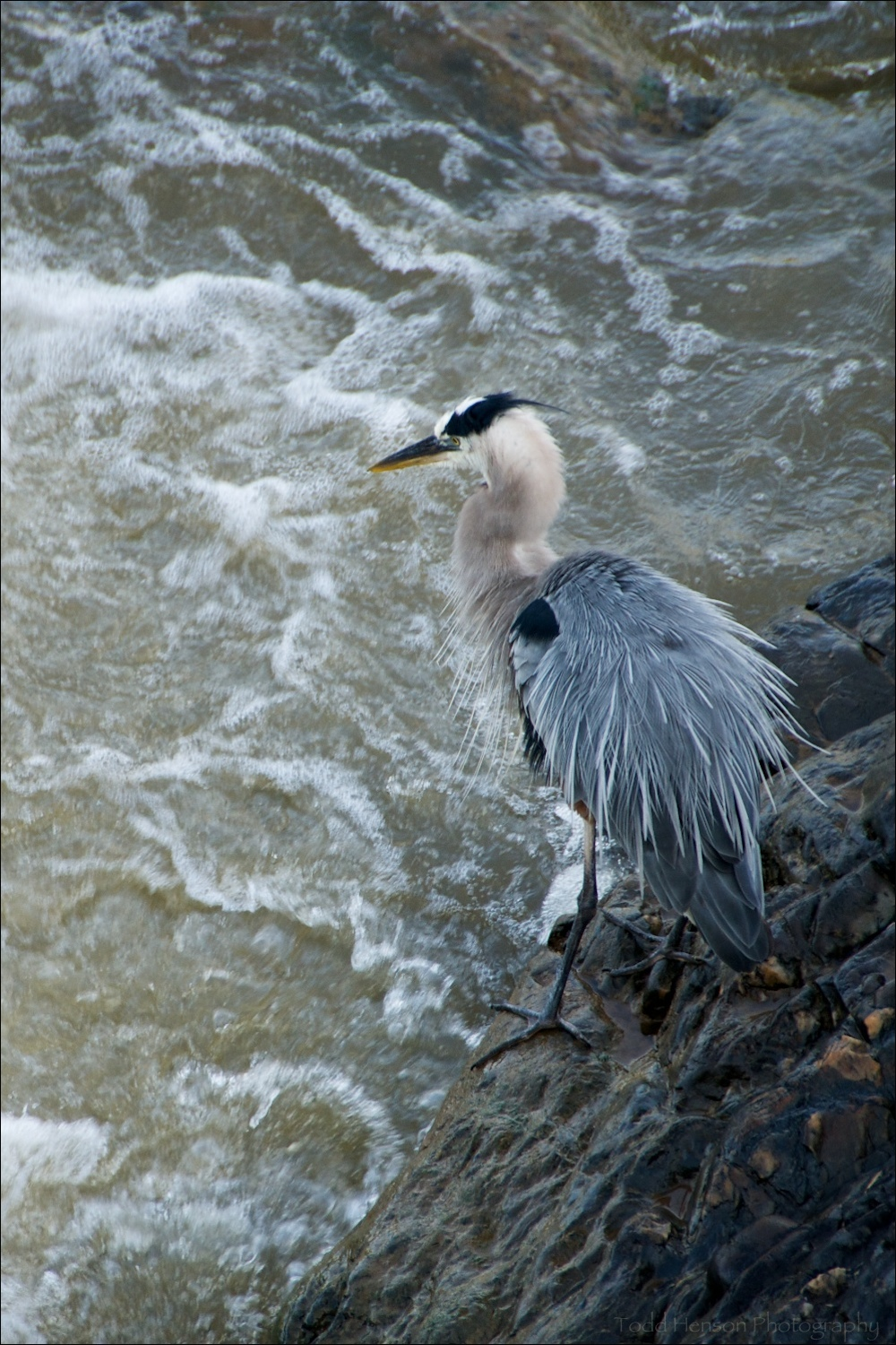Great Blue Heron ruffling feathers and puffing out plumage