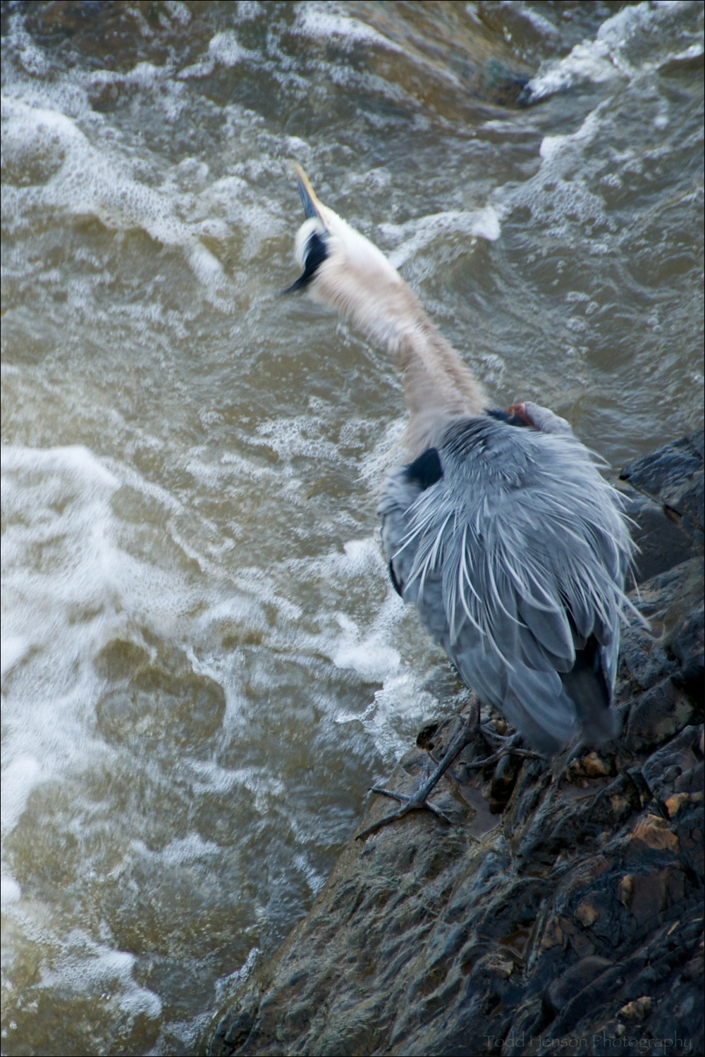 Great Blue Heron giving it a really good shake
