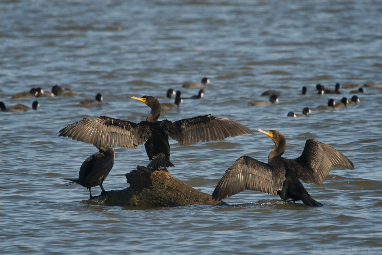Three Double-crested Cormorant (one's head is hidden behind the wing of another) standing on a rock with a large number of American Coot swimming in the background.