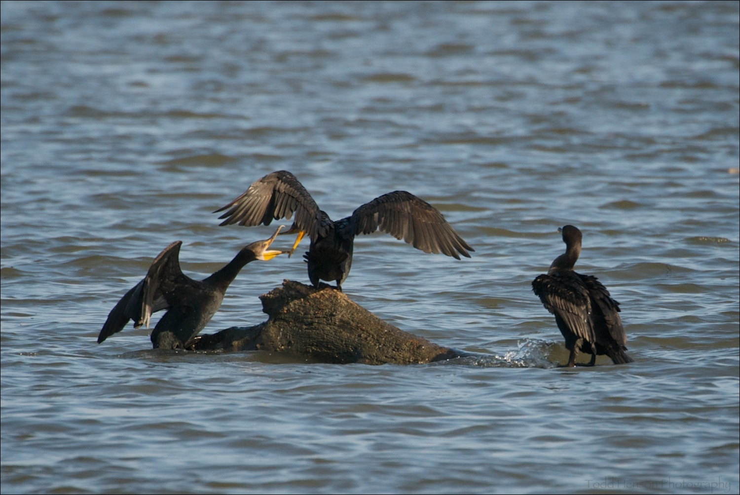 Three Double-crested Cormorant, two fighting for position on the rock.
