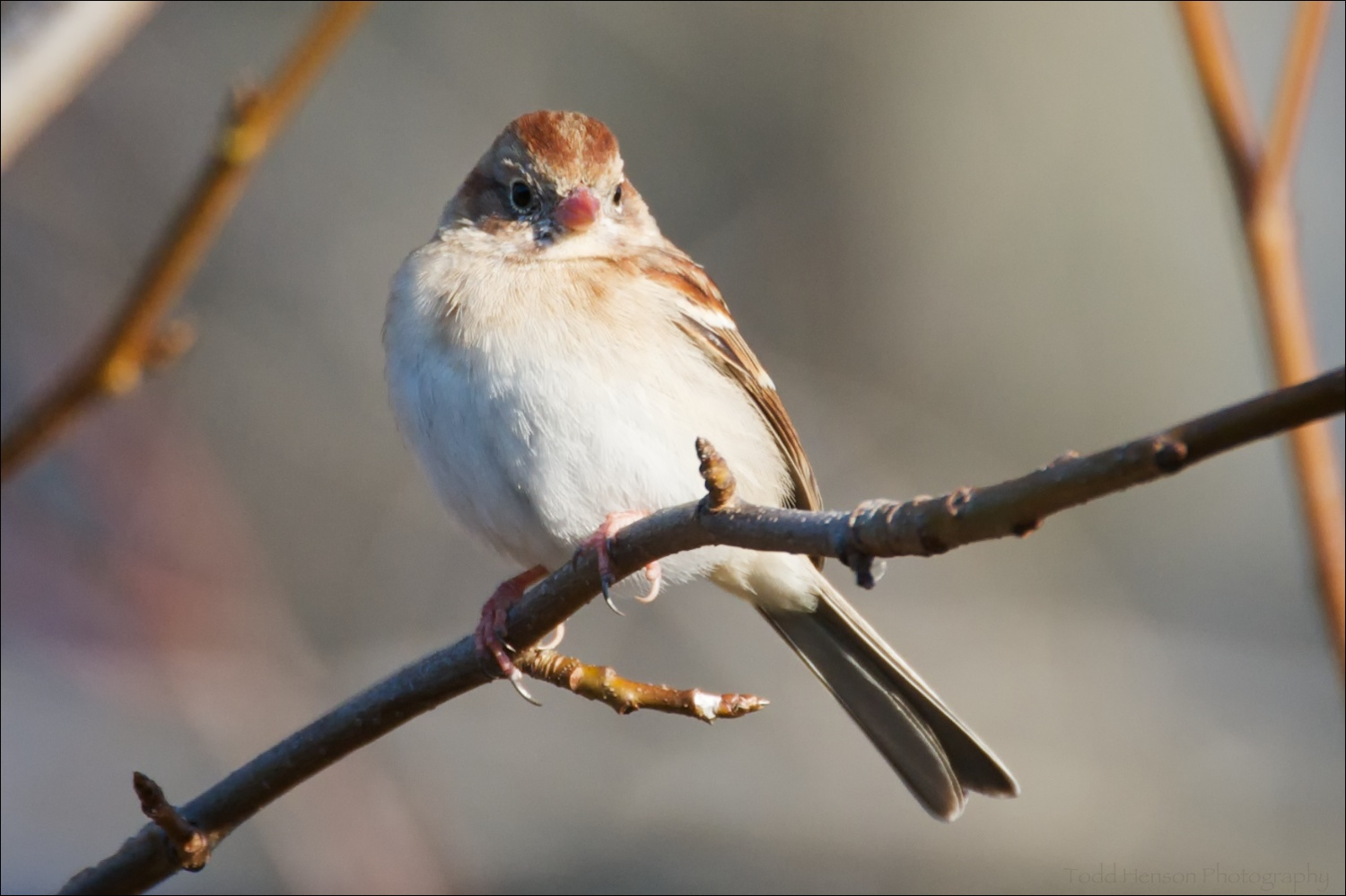 Field Sparrow, note the pinkish bill