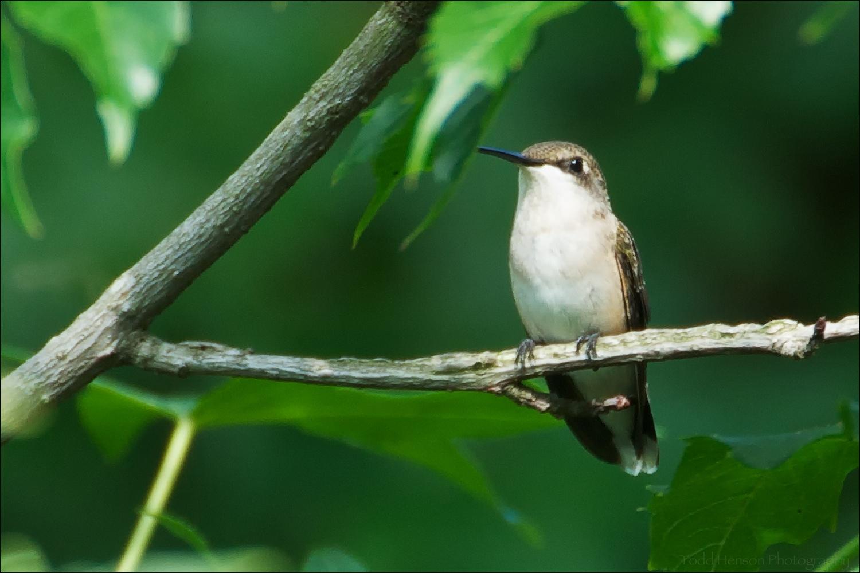 Female Ruby-throated hummingbird in tree