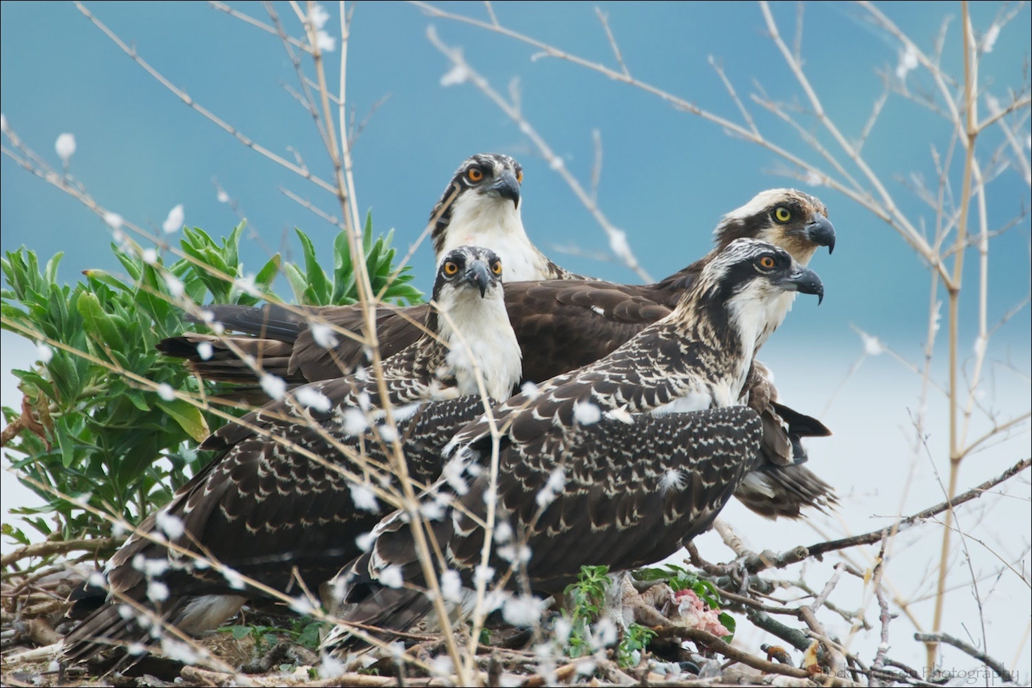 Osprey mother and three juveniles feeding on fish in nest. The juveniles have the more orange eyes, the mother's are more yellow. Also notice, the juvenile still have light colored feather tips, the adults are solid brown. The remains of the fish are at the foremost Osprey's feet.