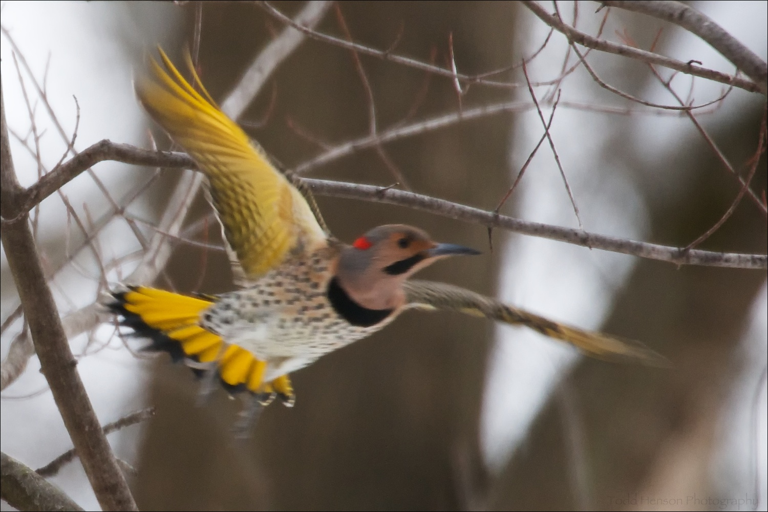 Male Northern Flicker in flight. The bird is out of focus, but notice the bright yellow color under the wings and tail.