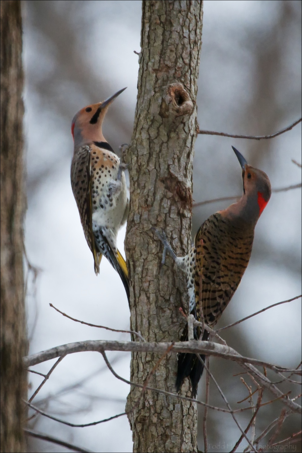 Two male Northern Flicker playing hide and seek