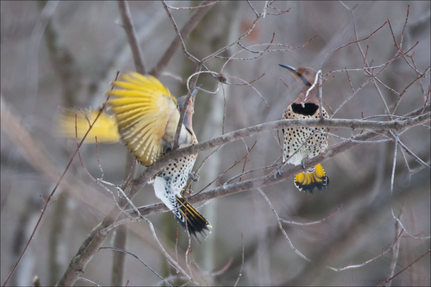 Two male Northern Flicker. The standoff escalates.
