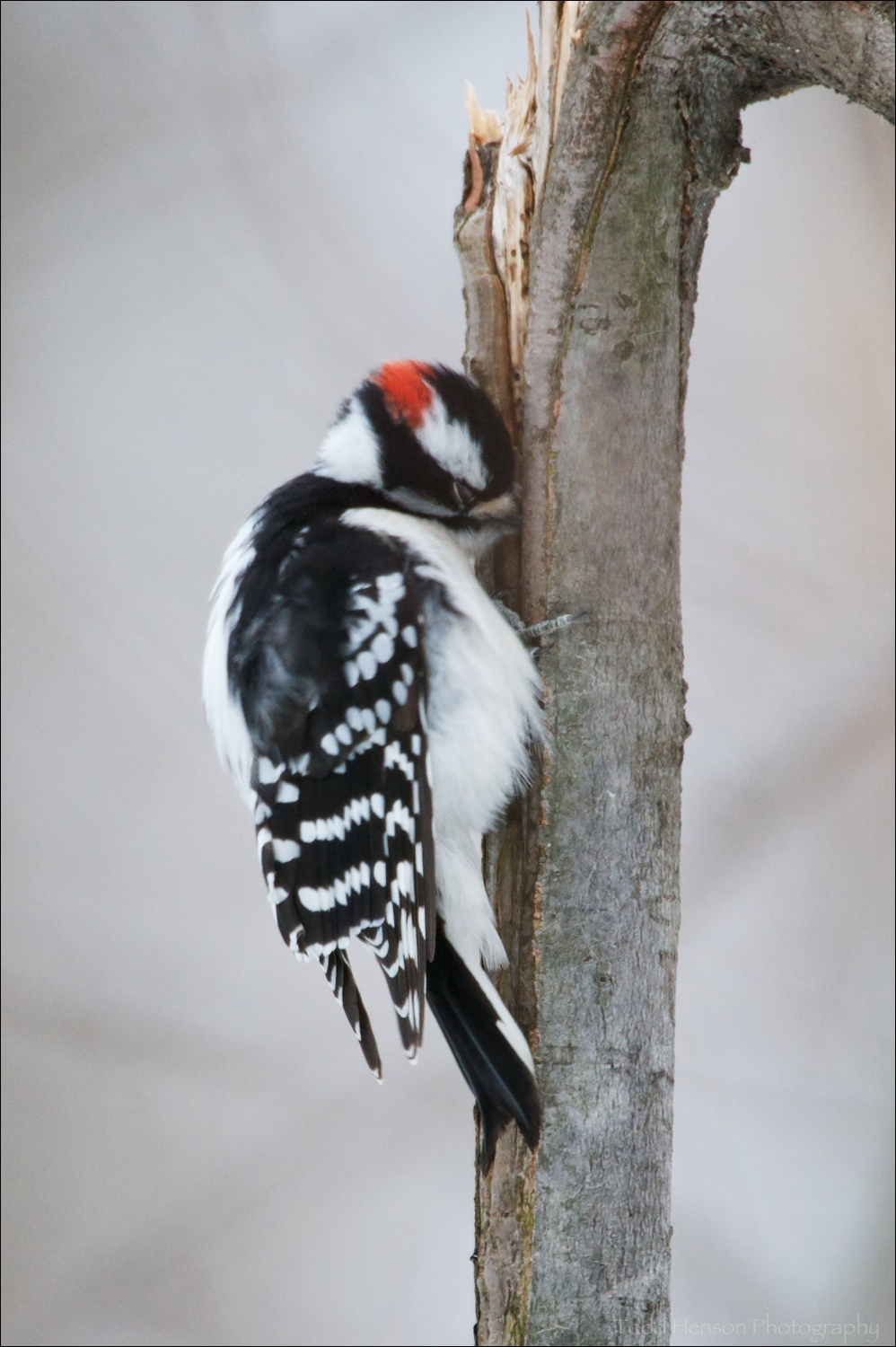 Male Downy Woodpecker, beak fully into crack in small tree, feeding on insects. Notice he closes his eyes when pecking into the tree.